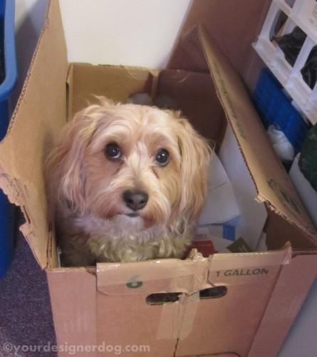 dogs, designer dogs, yorkipoo, yorkie poo, dog bone, recycling, dogs at work, burying