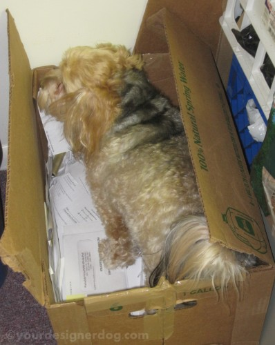 dogs, designer dogs, yorkipoo, yorkie poo, dog bone, recycling, dogs at work, burying