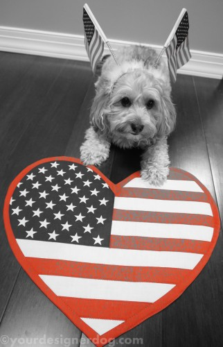 dogs, designer dogs, yorkipoo, yorkie poo, memorial day, flag, patriotic, black and white photography