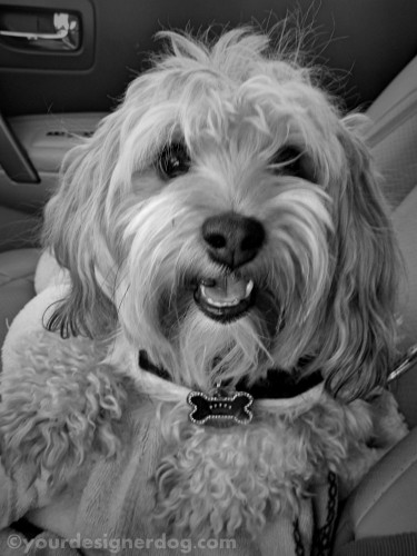 dogs, designer dogs, yorkipoo, yorkie poo, groomer, hair cut, makeover, tongue out, dog smiling