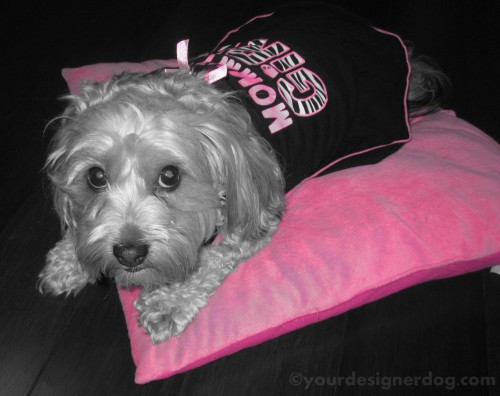 dogs, designer dogs, yorkipoo, yorkie poo, black and white photography, mother's day, mommy's girl