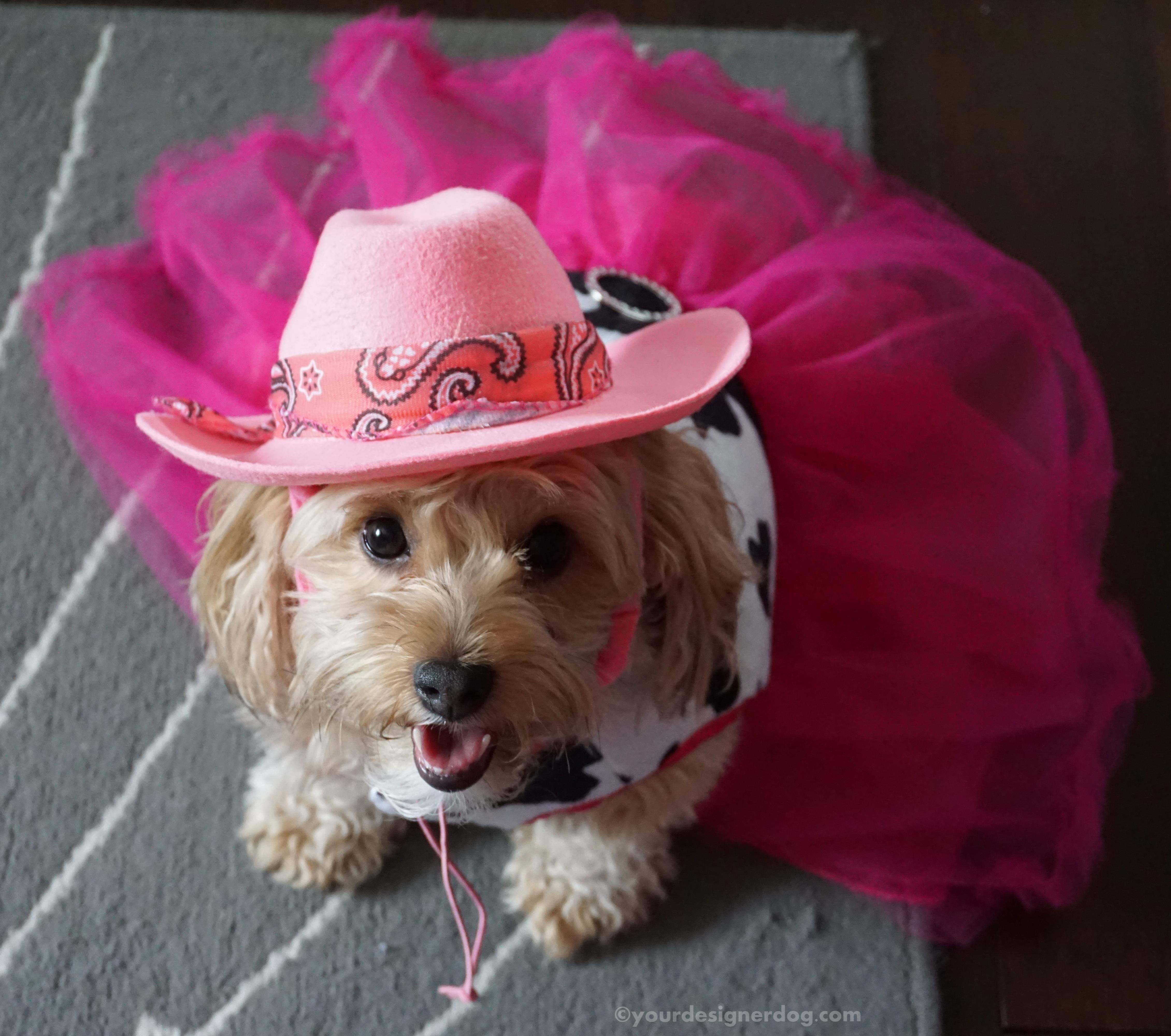 dogs, designer dogs, yorkipoo, yorkie poo, cowboy, cowgirl, tongue out, cowboy hat