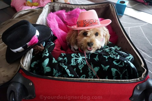 dogs, designer dogs, yorkipoo, yorkie poo, travel, suitcase, cowgirl