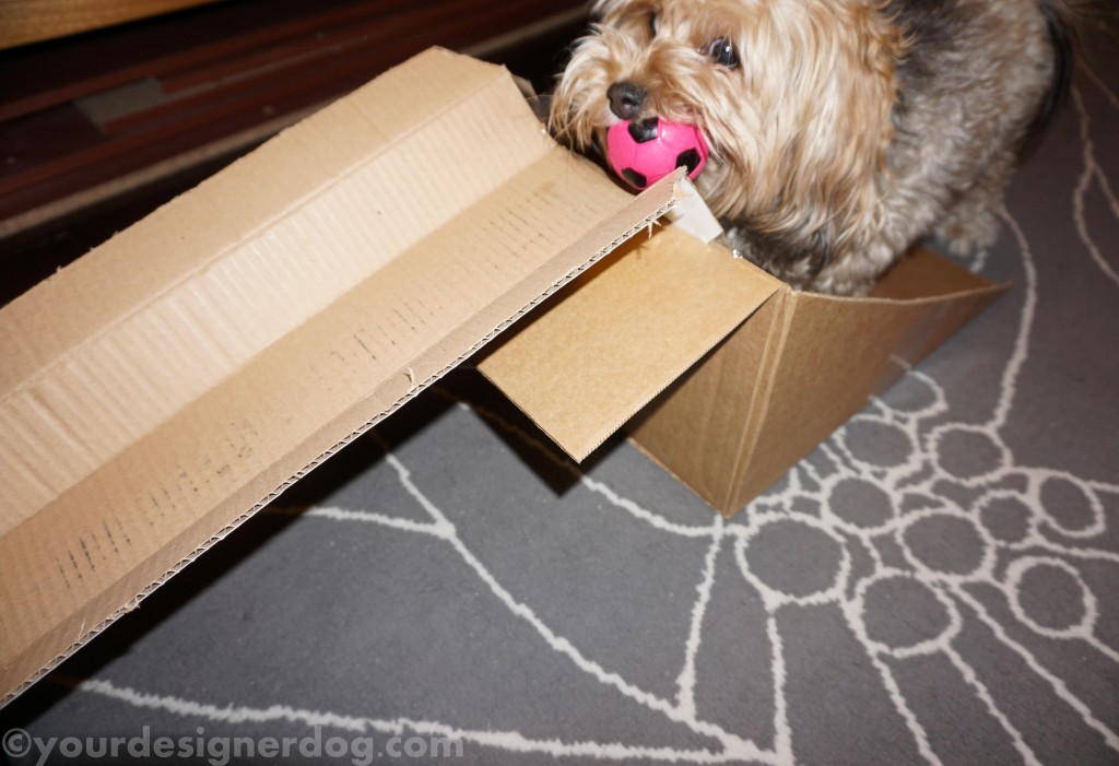 dogs, designer dogs, yorkipoo, yorkie poo, diy, ramp, squeaky ball