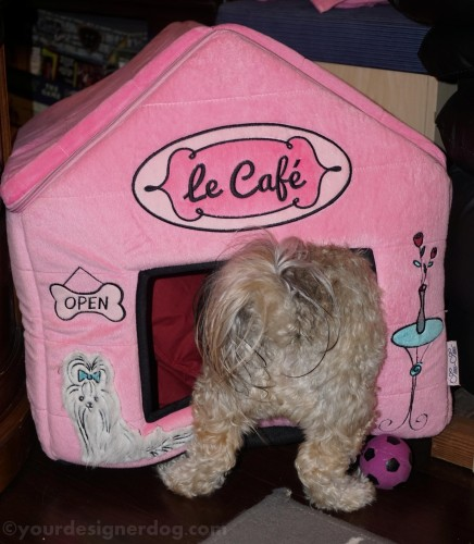 dogs, designer dogs, yorkipoo, yorkie poo, squeaky ball, dog house, mischief