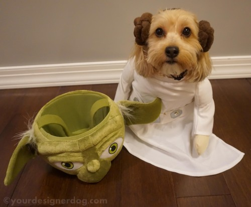 dogs, designer dogs, yorkipoo, yorkie poo, star wars day, princess leia, dog costume, yoda