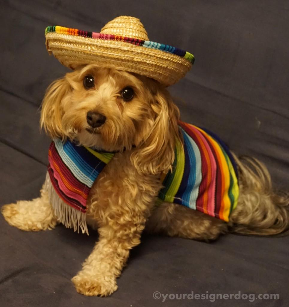 dogs, designer dogs, yorkipoo, yorkie poo, mexican, cinco de mayo, poncho, sombrero, dog costume