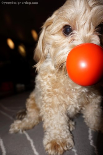 dogs, designer dogs, yorkipoo, yorkie poo, red nose, charity, comedy