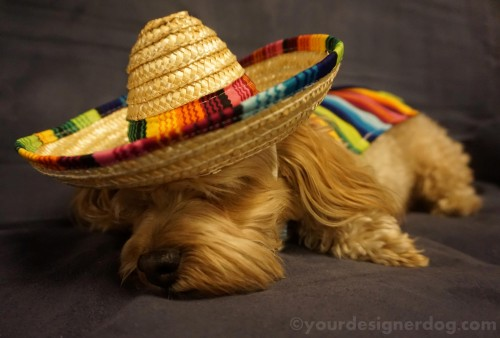 dogs, designer dogs, yorkipoo, yorkie poo, mexican, sombrero, poncho, siesta