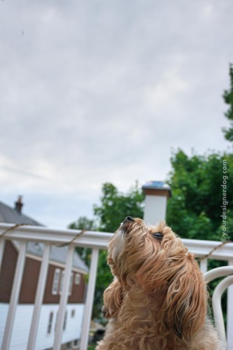 dogs, designer dogs, yorkipoo, yorkie poo, sky, clouds
