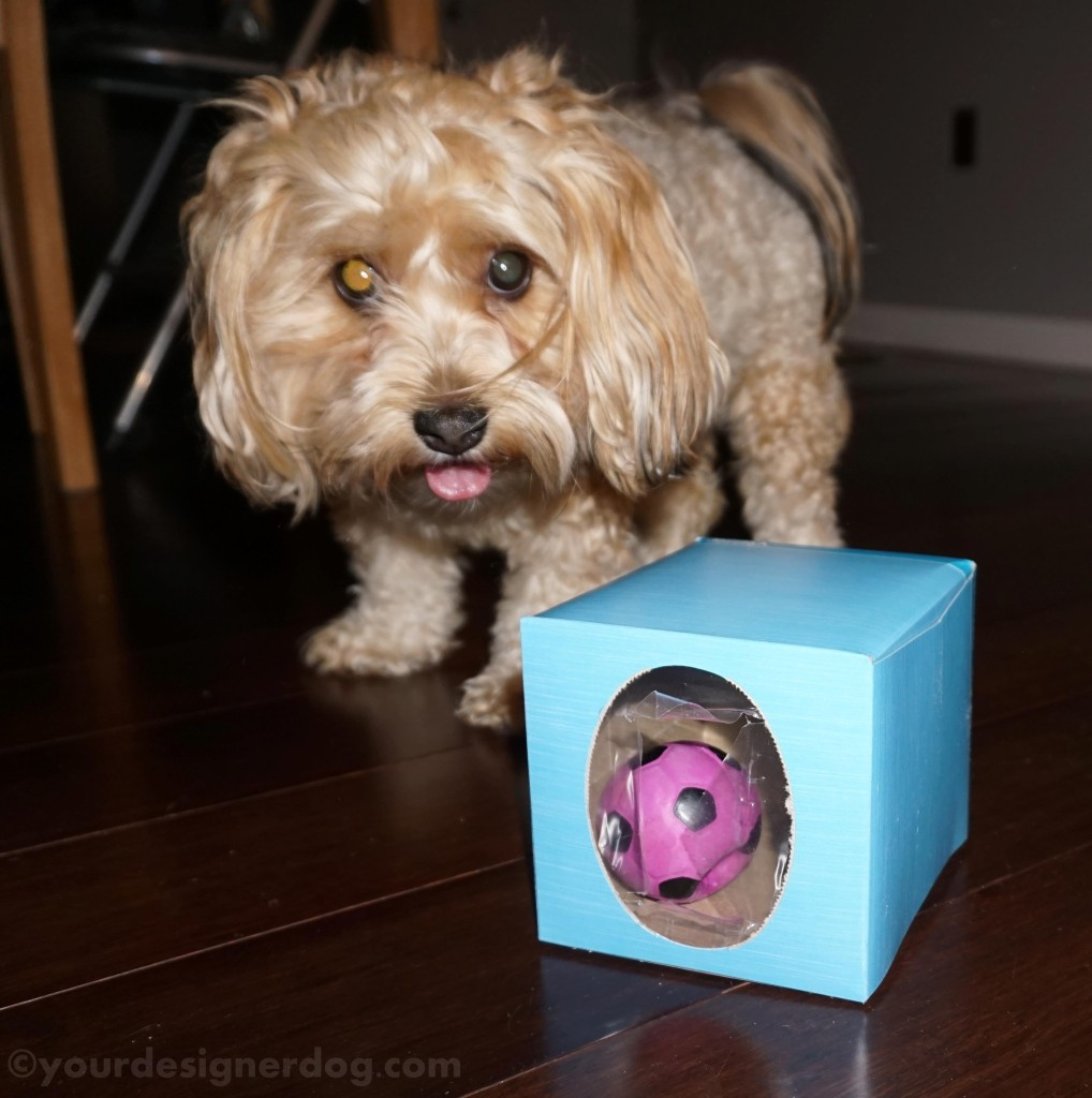 dogs, designer dogs, yorkipoo, yorkie poo, dog toys, squeaky ball, game, tissue box