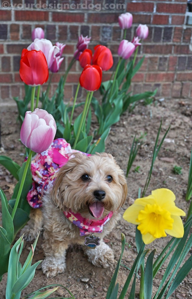 dogs, designer dogs, yorkipoo, yorkie poo, dogs with flowers, dog smiling, tongue out, photography tips, spring
