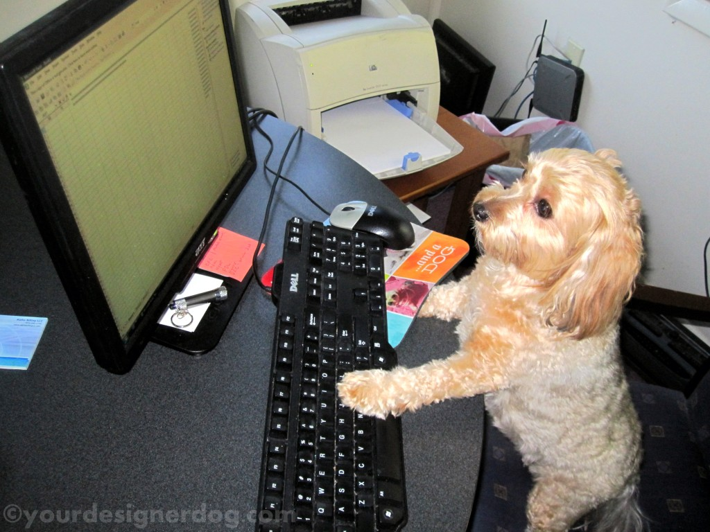dogs, designer dogs, computer, office, dogs at work