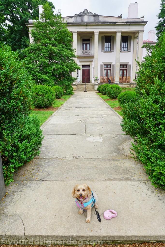 dogs, designer dogs, yorkipoo, yorkie poo, belle meade, plantation, nashville tennessee