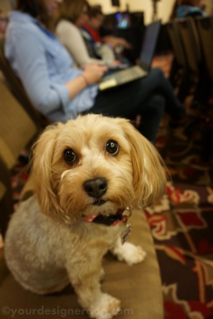 dogs, designer dogs, yorkipoo, yorkie poo, blogpaws, blogging conference, seminar