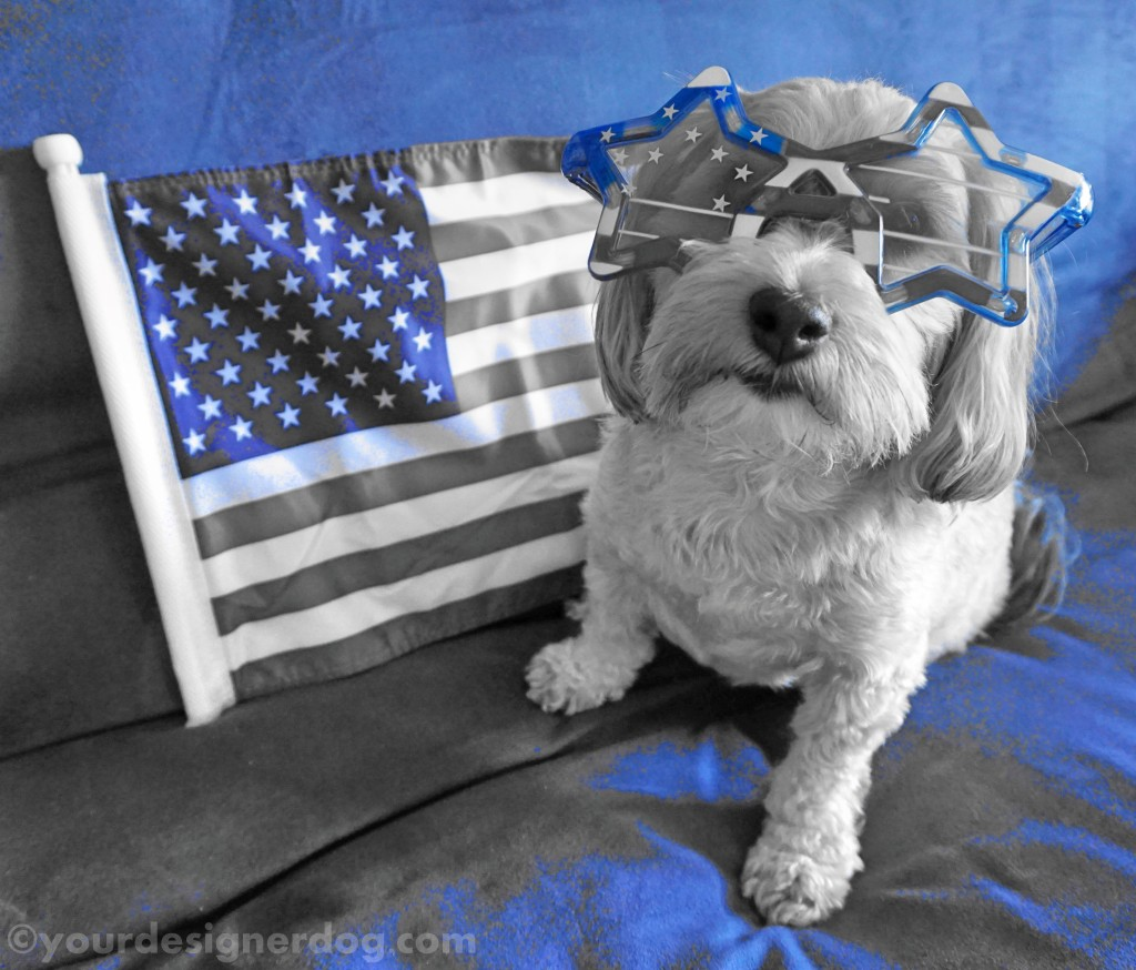 dogs, designer dogs, yorkipoo, yorkie poo, patriotic, american flag, black and white photography