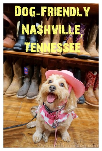 dogs, designer dogs, yorkipoo, yorkie poo, nashville, cowboy, dog friendly, boots