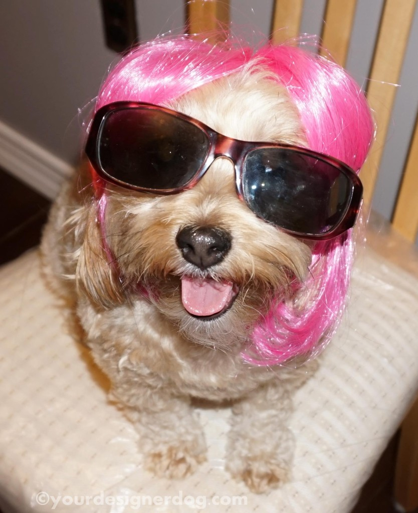 dogs, designer dogs, sunglasses, wig, disguise, paparazzi