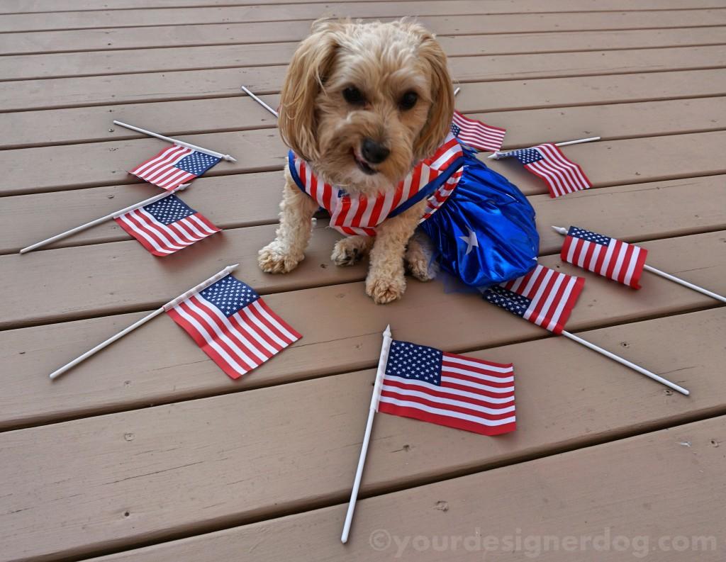 dogs, designer dogs, yorkipoo, yorkie poo, flag, patriotic, american, blooper