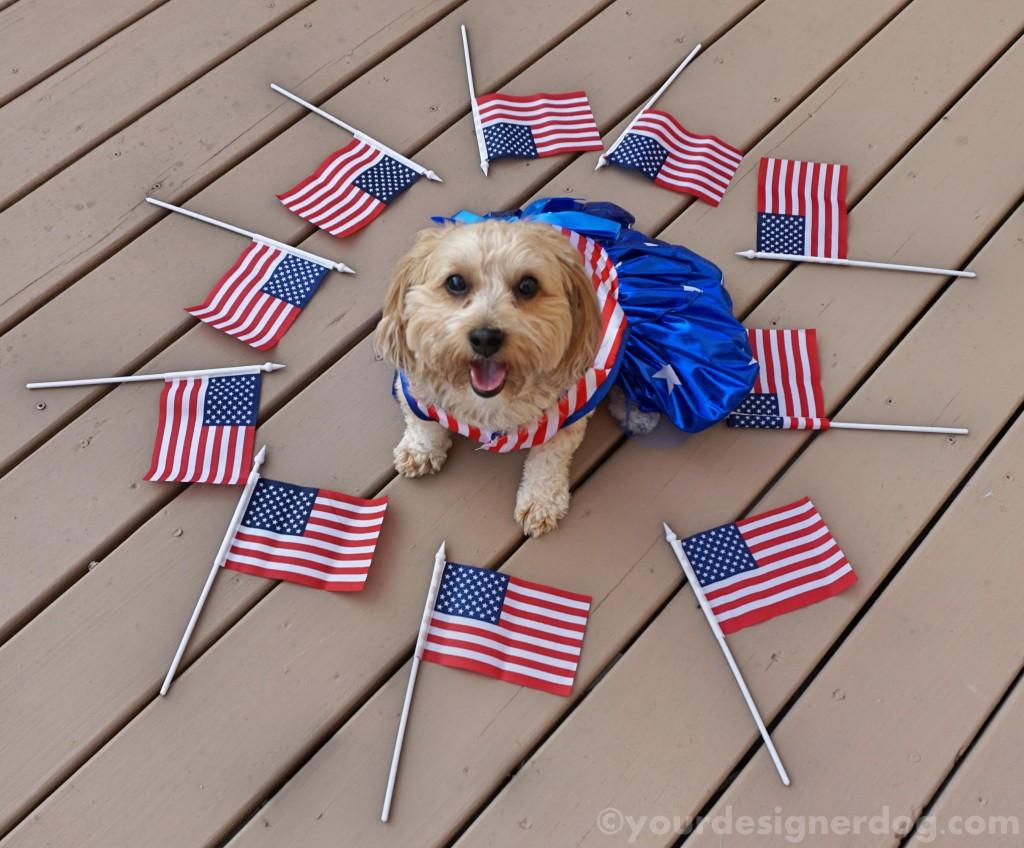 dogs, designer dogs, yorkipoo, yorkie poo, flag, patriotic, american, dog smiling