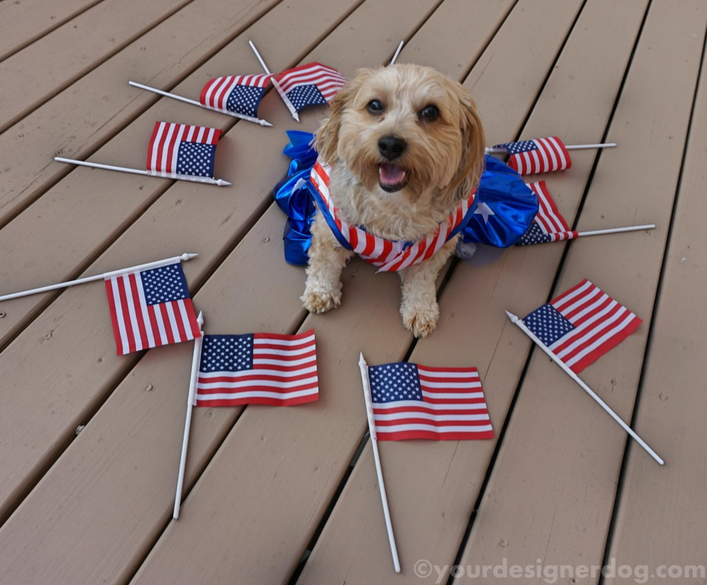 dogs, designer dogs, yorkipoo, yorkie poo, flag, patriotic, american, dog smiling