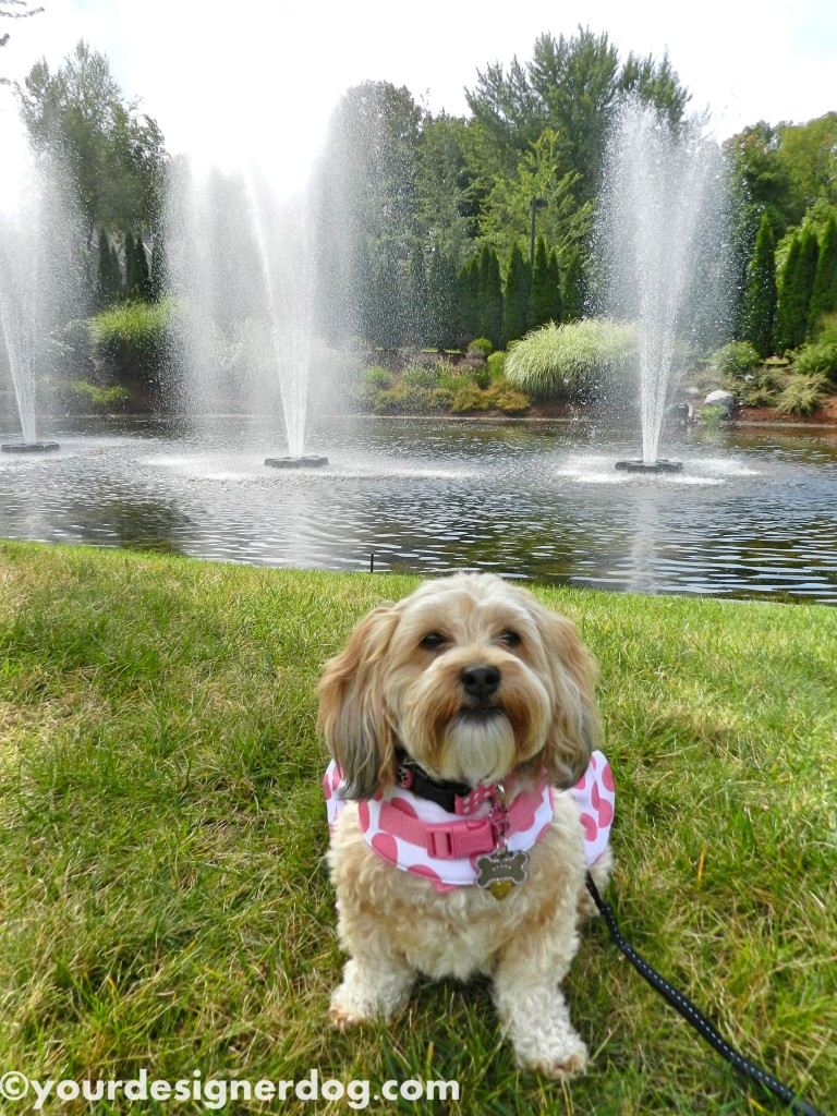 dogs, designer dogs, yorkipoo, yorkie poo, water, fountain, dog smiling, tongue out
