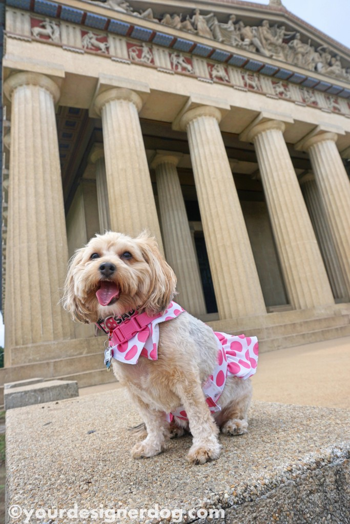 dogs, designer dogs, yorkipoo, yorkie poo, temple, parthenon, nashville, tongue out, dog smiling