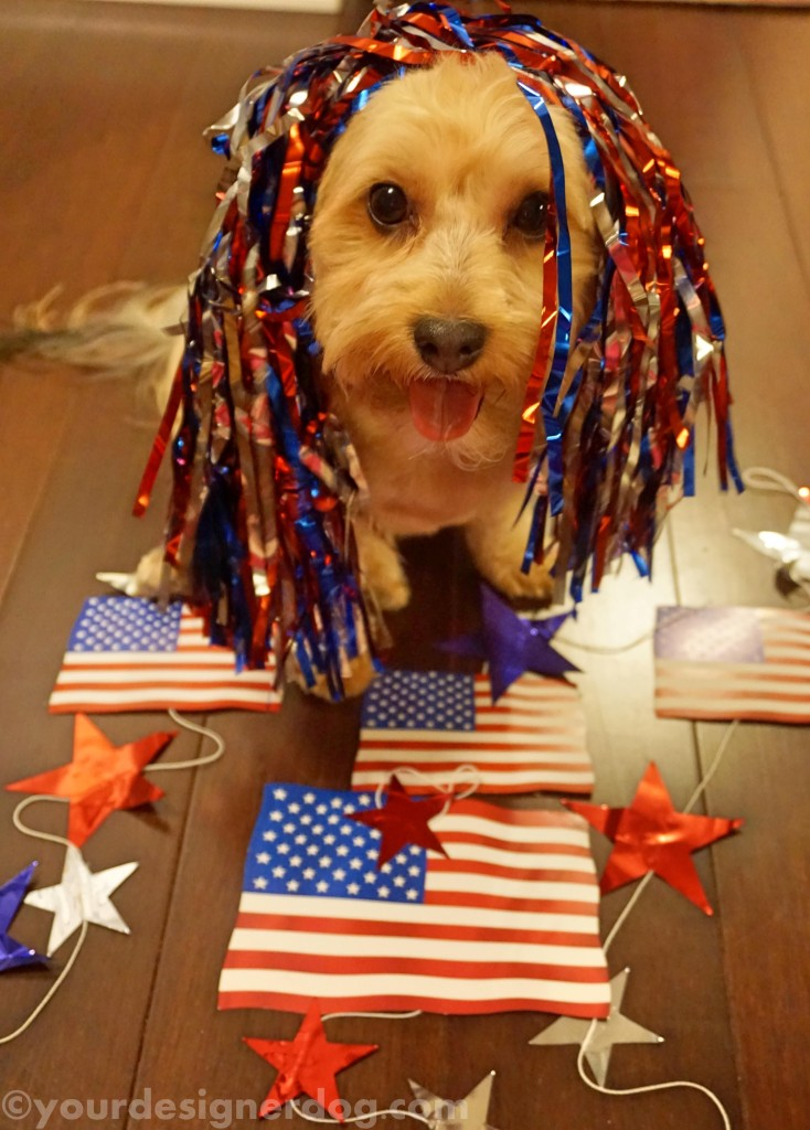 dogs, designer dogs, yorkipoo, yorkie poo, patriotic. american flag, fourth of july