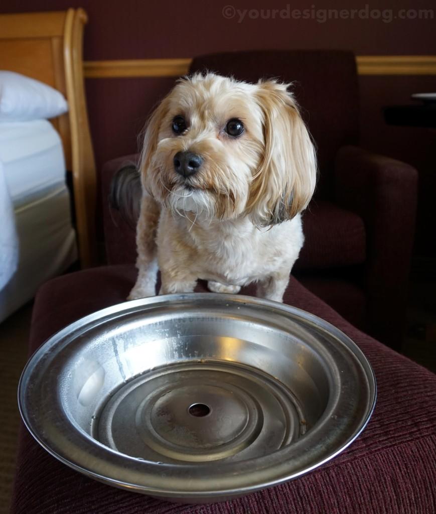 dogs, designer dogs, yorkipoo, yorkie poo, dog bowl, room service