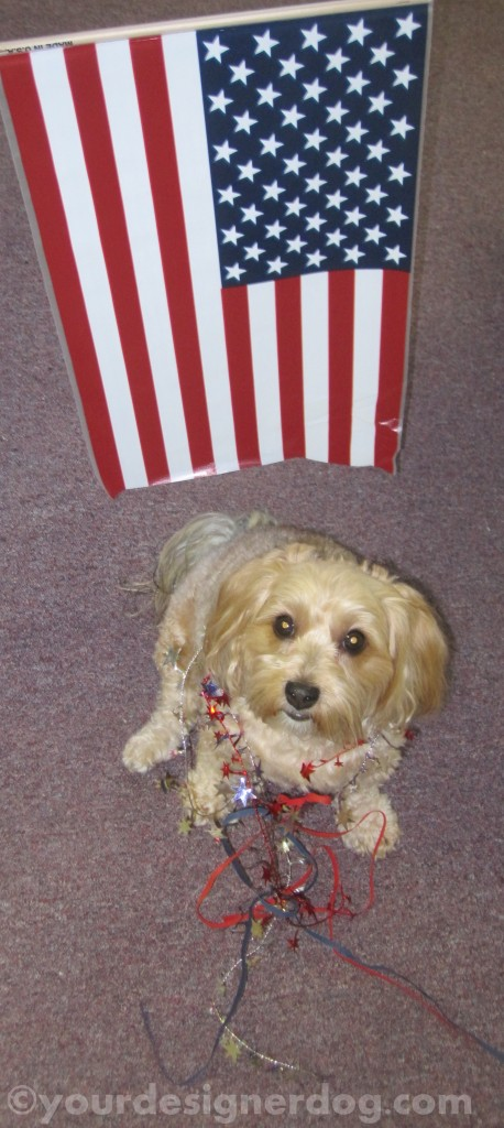 dogs, designer dogs, yorkipoo, yorkie poo, flag, patriotic, 4th of july
