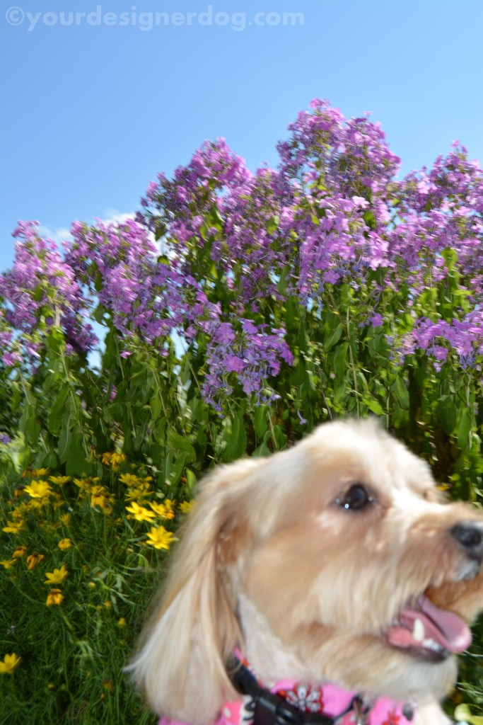 dogs, designer dogs, yorkipoo, yorkie poo, dogs with flowers, tongue out, dog smiling