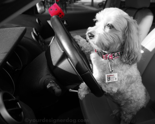 dogs, designer dogs, yorkipoo, yorkie poo, dog id tag, black and white photography, driver's license