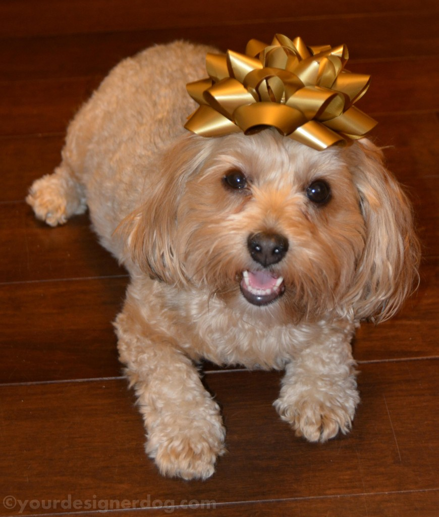 dogs, designer dogs, yorkipoo, present, bow, celebrate