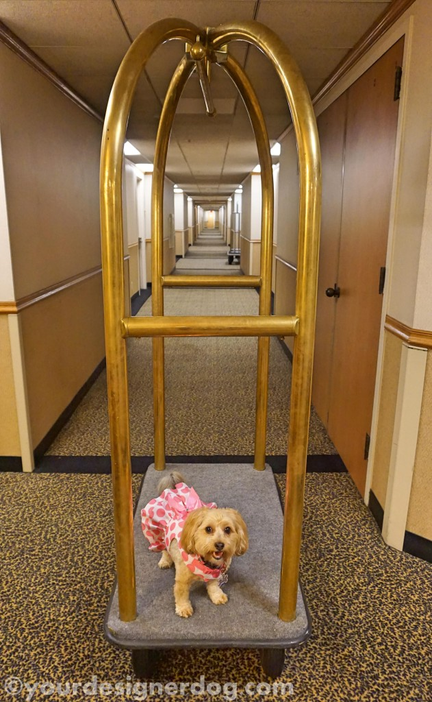 dogs, designer dogs, yorkie poo, yorkipoo, hotel, dog smiling