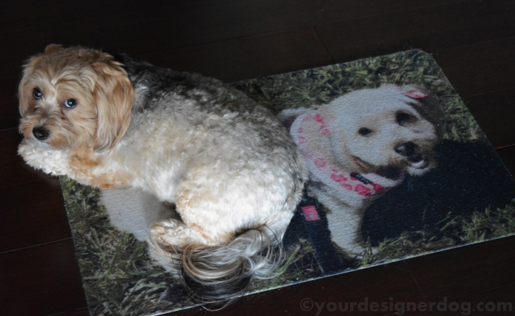 dogs, designer dogs, yorkipoo, yorkie poo, rug, welcome mat, double, twins