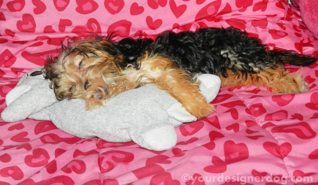 dogs, designer dogs, yorkipoo, yorkie poo, sleepy puppy, snuggly, stuffed animal, bunny