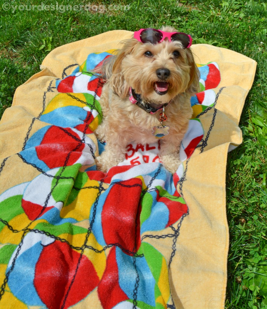 dogs, designer dogs, yorkipoo, yorkie poo, summer, sun glasses, beach towel, dog smiling