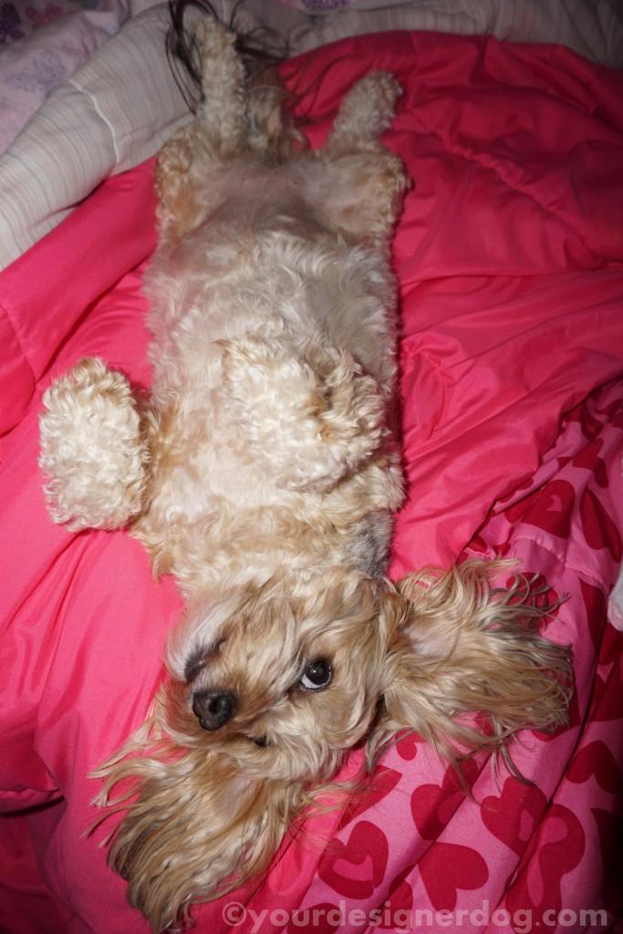 dogs, designer dogs, yorkipoo, yorkie poo, bat, upside down