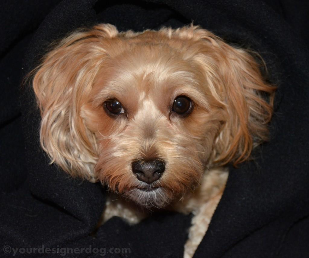 dogs, designer dogs, yorkipoo, yorkie poo, headshots, black