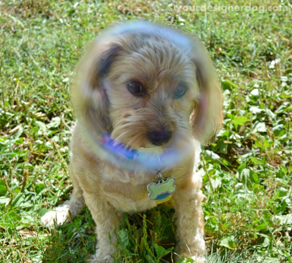 dogs, designer dogs, yorkipoo, yorkie poo, bubbles, bubble head