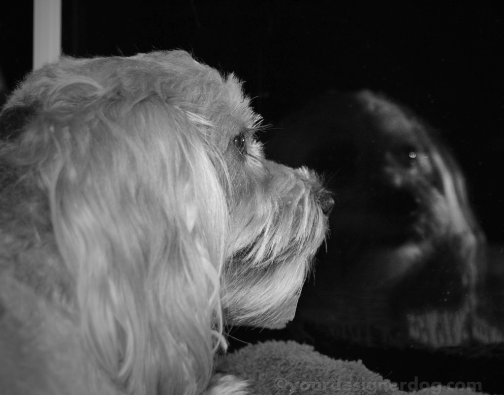 dogs, designer dogs, yorkipoo, yorkie poo, black and white photography, reflection