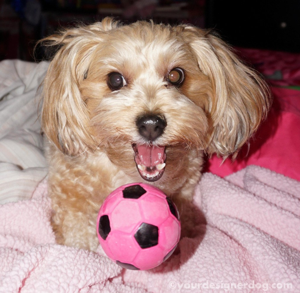dogs, designer dogs, yorkipoo, yorkie poo, squeaky, dog toy, catch