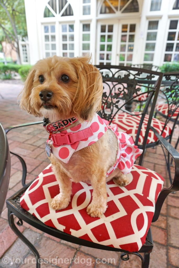 dogs, designer dogs, yorkipoo, yorkie poo, dog friendly dining, outdoor dining