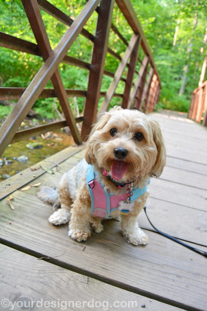 dogs, designer dogs, yorkipoo, yorkie poo, nature, bridge, forest, dog smiling