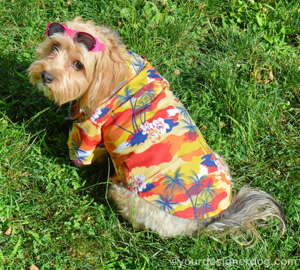 dogs, designer dogs, yorkipoo, yorkie poo, dog clothes, hawaiian shirt, micha doggy wear