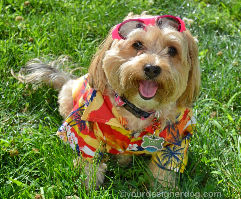 dogs, designer dogs, yorkipoo, yorkie poo, dog clothes, hawaiian shirt, micha doggy wear