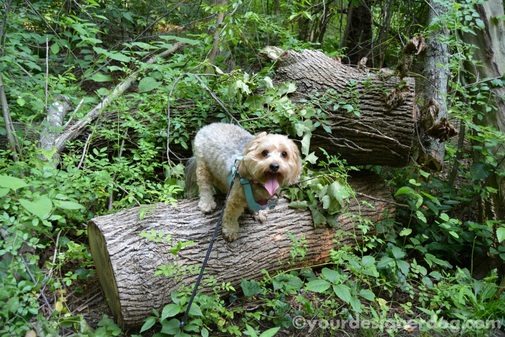 dogs, designer dogs, yorkipoo, yorkie poo, nature, forest