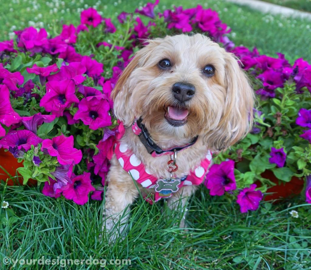 dogs, designer dogs, yorkipoo, yorkie poo, dogs with flowers, petunias
