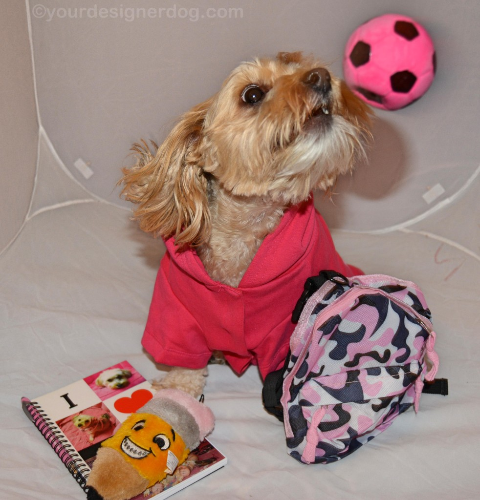 dogs, designer dogs, yorkipoo, yorkie poo, back to school, backpack, tongue out