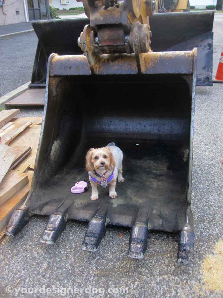 dogs, designer dogs, yorkipoo, yorkie poo, labor, construction equipment